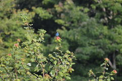 Голубая птица Стоковое Изображение RF