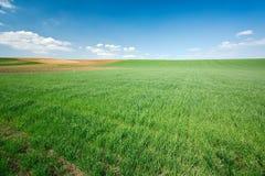 голубая пшеница неба зеленого цвета поля Стоковая Фотография RF