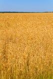 голубая пшеница неба поля Стоковая Фотография RF