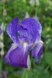 голубая радужка росы Стоковые Фотографии RF