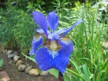 голубая радужка цветка стоковая фотография rf