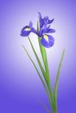 голубая радужка цветка стоковые изображения rf