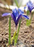 голубая радужка стоковая фотография rf
