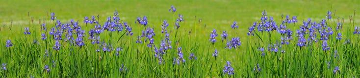 голубая радужка Стоковое Изображение