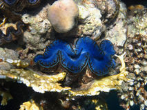 Голубая раковина Стоковое фото RF