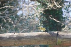 Голубая синица на загородке с мхом для строя гнезда стоковая фотография rf