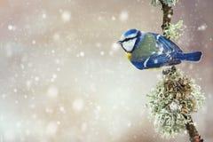 Голубая синица, caeruleus Cyanistes, сидя на красивой ручке с мхом стоковые фотографии rf