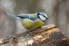 Голубая синица, caeruleus Parus, caeruleus Cyanistes Стоковые Фотографии RF