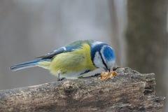Голубая синица, caeruleus Parus, caeruleus Cyanistes Стоковое Фото