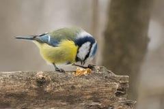 Голубая синица, caeruleus Parus, caeruleus Cyanistes Стоковые Изображения