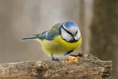 Голубая синица, caeruleus Parus, caeruleus Cyanistes Стоковое Изображение