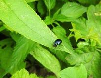 Голубая сияющая черепашка на траве, Литве Стоковая Фотография RF