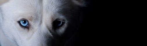 голубая собака eyes белизна Стоковые Фотографии RF