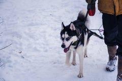 голубая собака eyes лайка Предприниматель с сибирской лайкой в снеге стоковые изображения rf