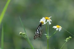 Голубая стекловидная бабочка тигра на белом цветке в поле Стоковая Фотография