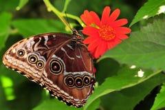 голубая сторона morpho бабочки вниз Стоковое Изображение