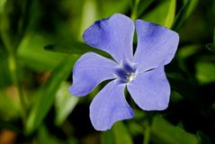 голубая трава цветка стоковые фотографии rf