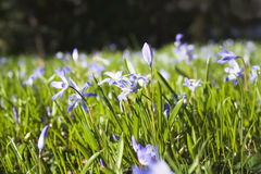 голубая трава цветков Стоковое Изображение RF