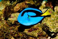 Голубая тянь гиппопотама Стоковое Изображение RF