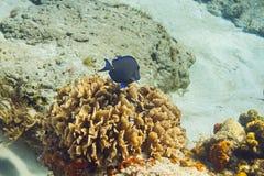 Голубая тянь плавая прочь Стоковое фото RF