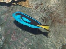 голубая тянь рыб стоковые изображения rf