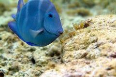голубая тянь Стоковые Изображения RF