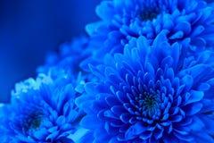 Голубая флористическая предпосылка хризантемы цветков Пустое пространство для записи текста Шаблон для карточки праздника Стоковые Изображения RF