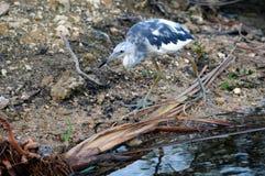 голубая цапля болотистых низменностей немногая Стоковое Фото