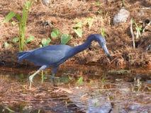 голубая цапля болотистых низменностей немногая Стоковые Изображения RF