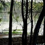 Голубая цапля в болоте полесья стоковые изображения
