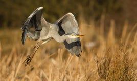 голубая цапля летания Стоковые Фотографии RF