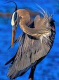 Голубая цапля на запасе b круга Стоковые Изображения