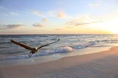 Голубая цапля принимая от белого пляжа песка   Стоковая Фотография