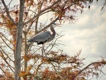 Голубая цапля садить на насест на ветви стоковое изображение