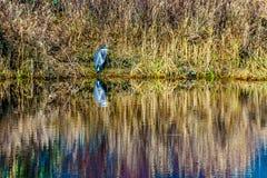 Голубая цапля сидя на крае лагуны в болоте Pitt-Addington в запасе польдера Pitt экологическом, около клена Риджа в Стоковые Изображения