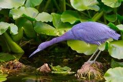 голубая цапля среды обитания немногая стоковая фотография