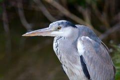 Голубая цапля Стоковое фото RF