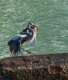 Голубая цапля Стоковые Фото
