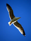 голубая чайка Стоковые Фото