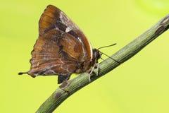 голубая штриховатость серебра бабочки Стоковые Изображения RF
