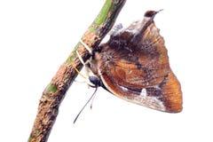 голубая штриховатость серебра бабочки Стоковая Фотография