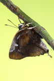 голубая штриховатость серебра бабочки Стоковое Фото