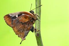 голубая штриховатость серебра бабочки Стоковая Фотография RF