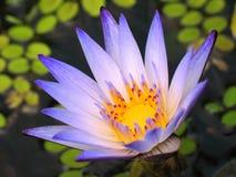голубая яркая вода лилии стоковое изображение rf