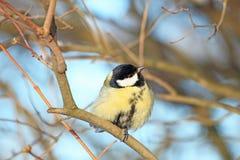 Голубика на ветви в парке зимы Стоковое Изображение RF