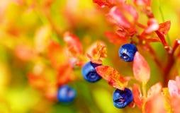 Голубика, приносить и выходит с красивой предпосылкой нерезкости Стоковые Фотографии RF