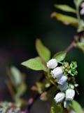 голубика цветений Стоковое фото RF