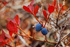 голубика Стоковая Фотография RF