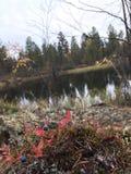 Голубики на лесе стоковое фото