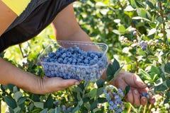 голубики собирая женщину профессиональный сбор ягод стоковое фото